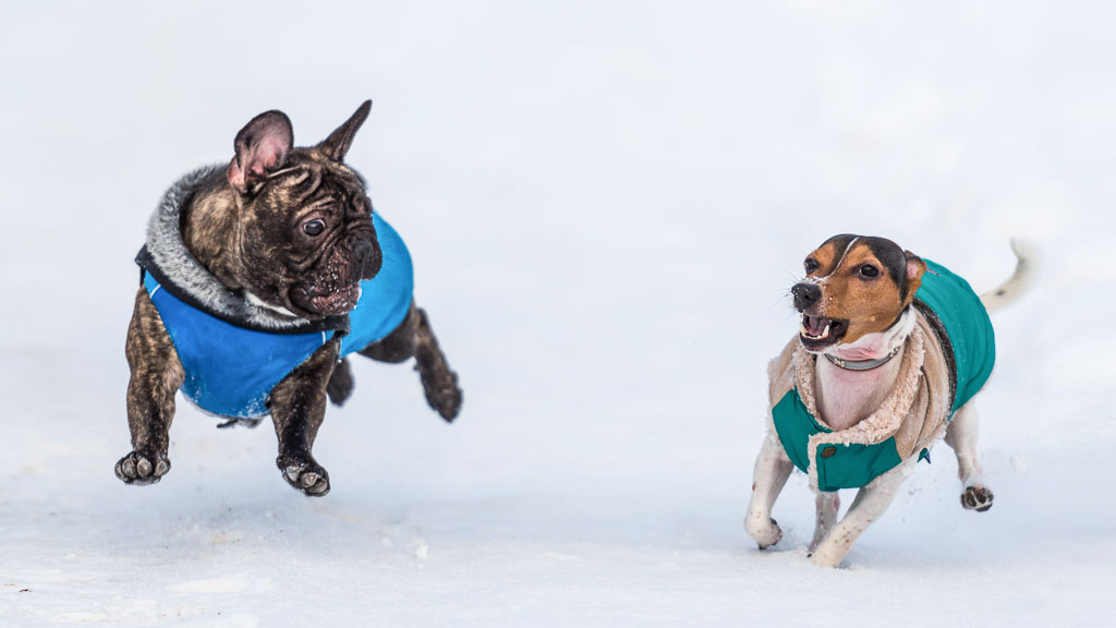dogs with winter jackets