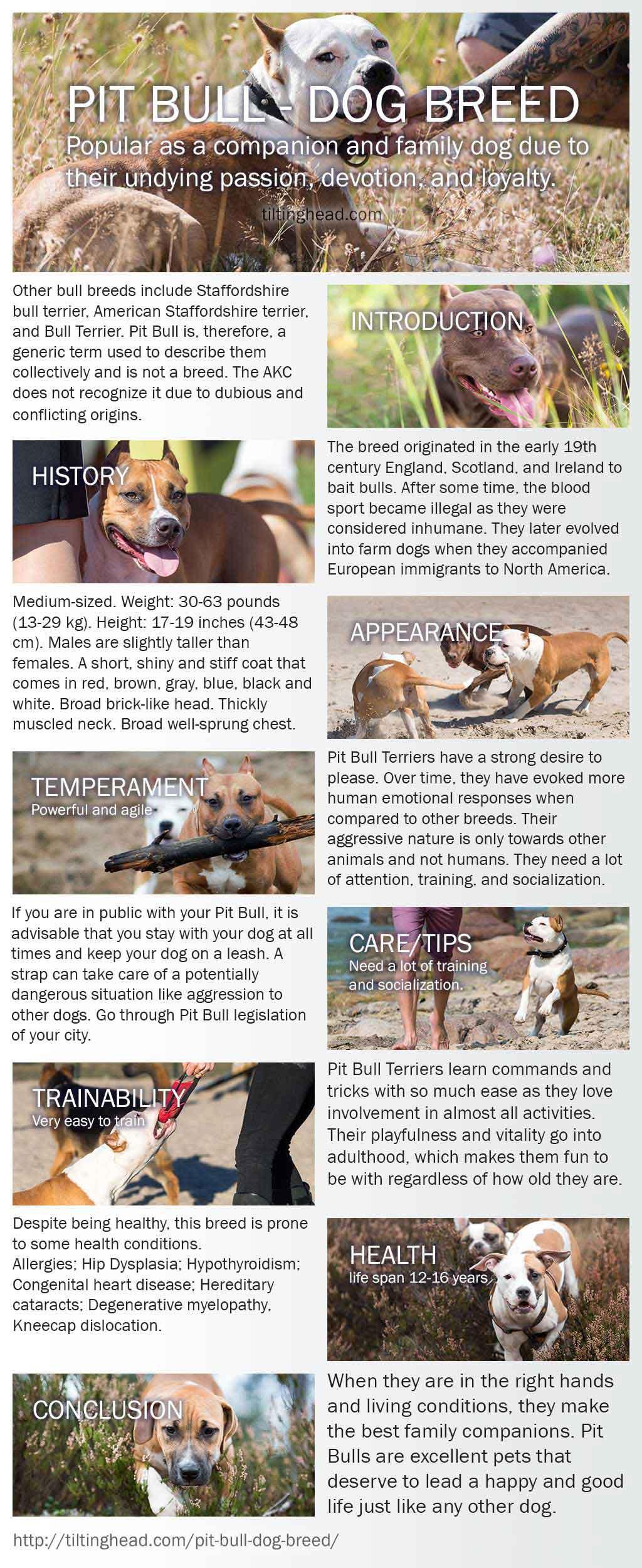 pit bull infograph