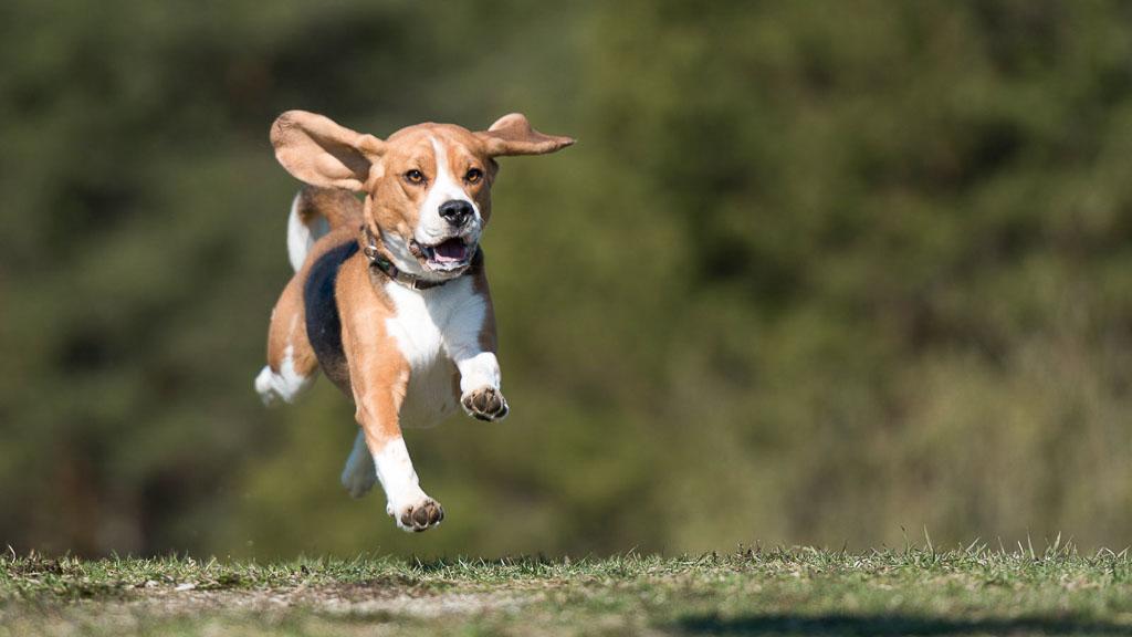 beagle - popular dog breed