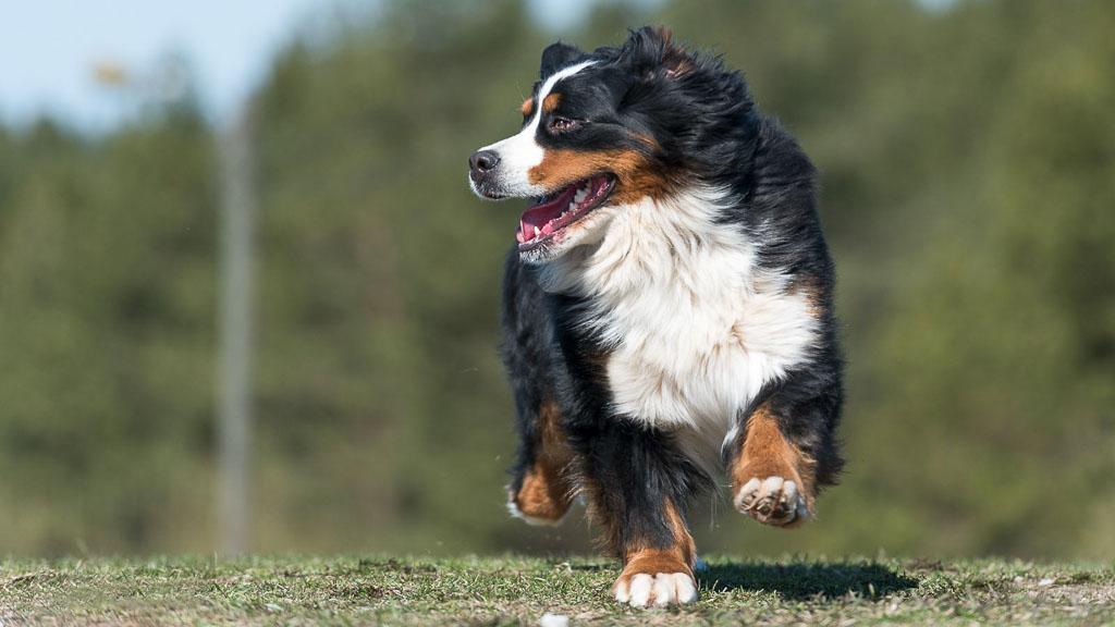 popular dog breed bernese mountain dog