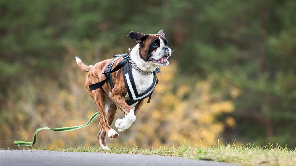boxer - popular dog breed