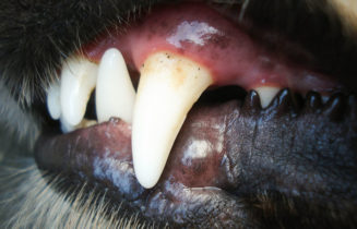 dog's teeth