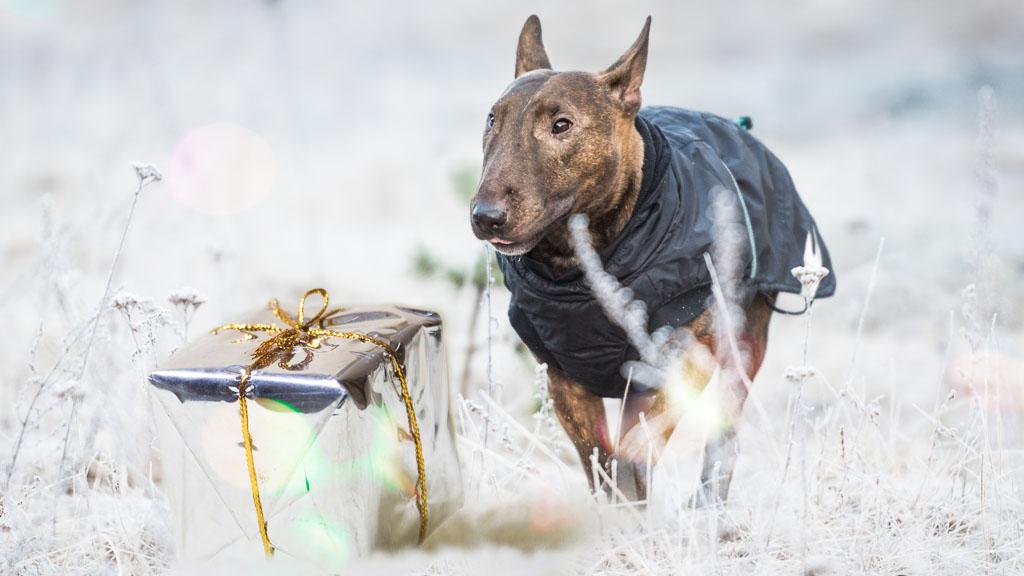 dog and gift
