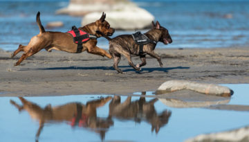 dog-running-on-beach-1068