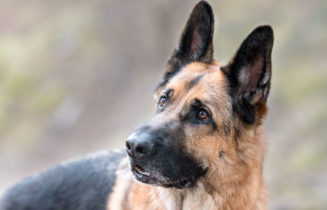 german shepherd dog face with erect ears