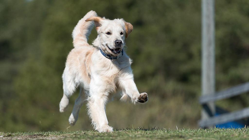popular dog breed golden retriever