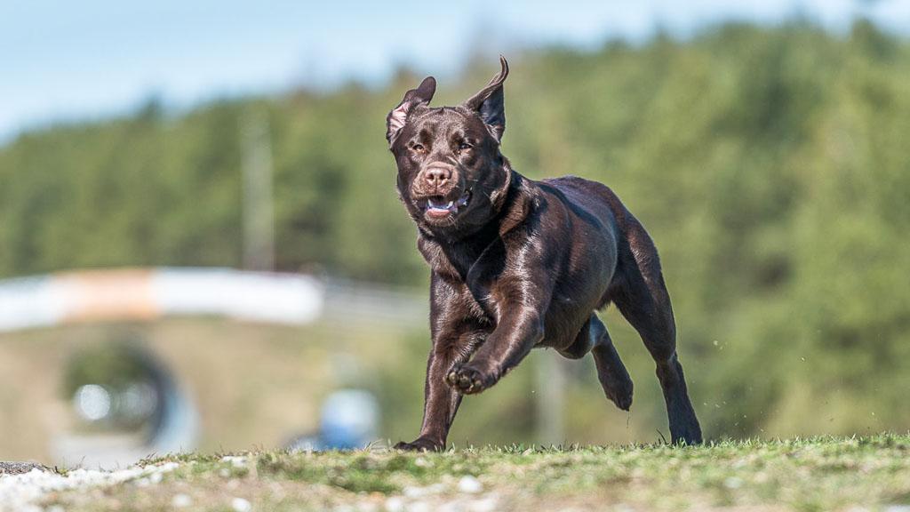 most popular dog breed labrador retriever
