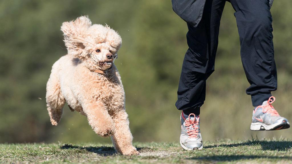 popular dog breed poodle
