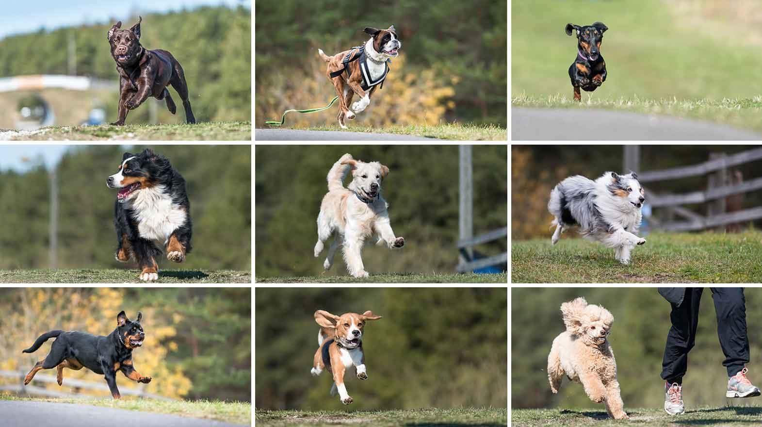 popular dog breeds in 2016