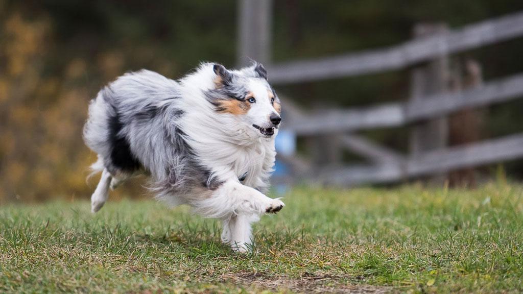 popular dog breed shetland sheepdog