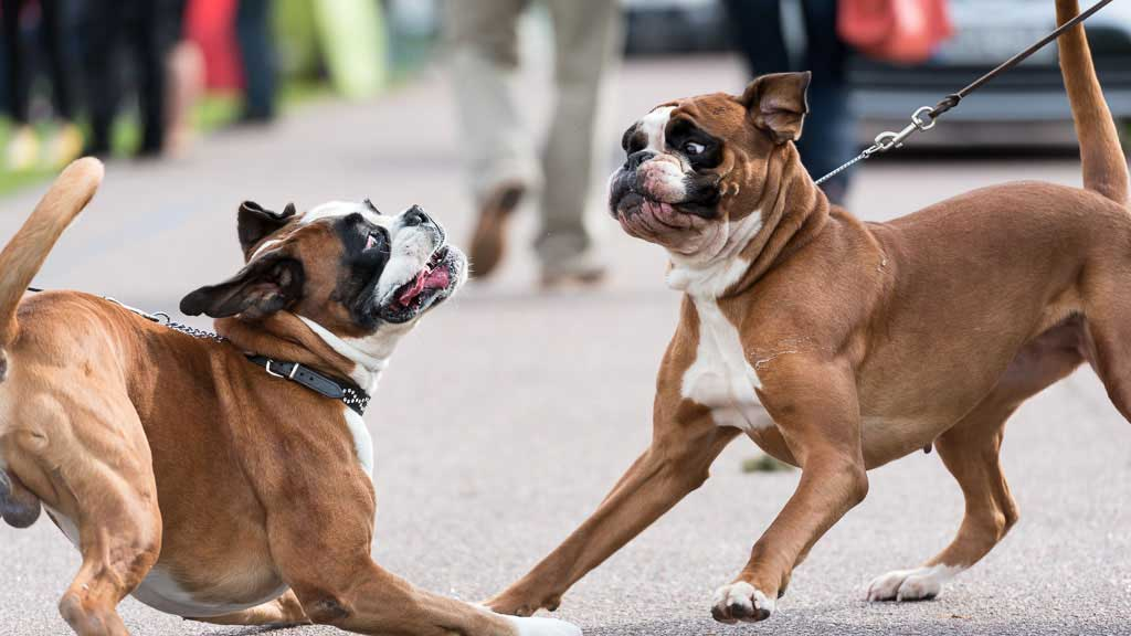 Boxer Dog Breed Information And